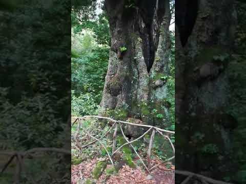 Ilha da Madeira F.C. Fajã da Nogueira. Chão Nateiro de Cima. Árvores centenárias. 23 de Novembro.