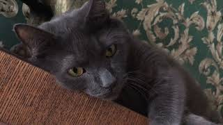 Boss Cats  Korat Cat