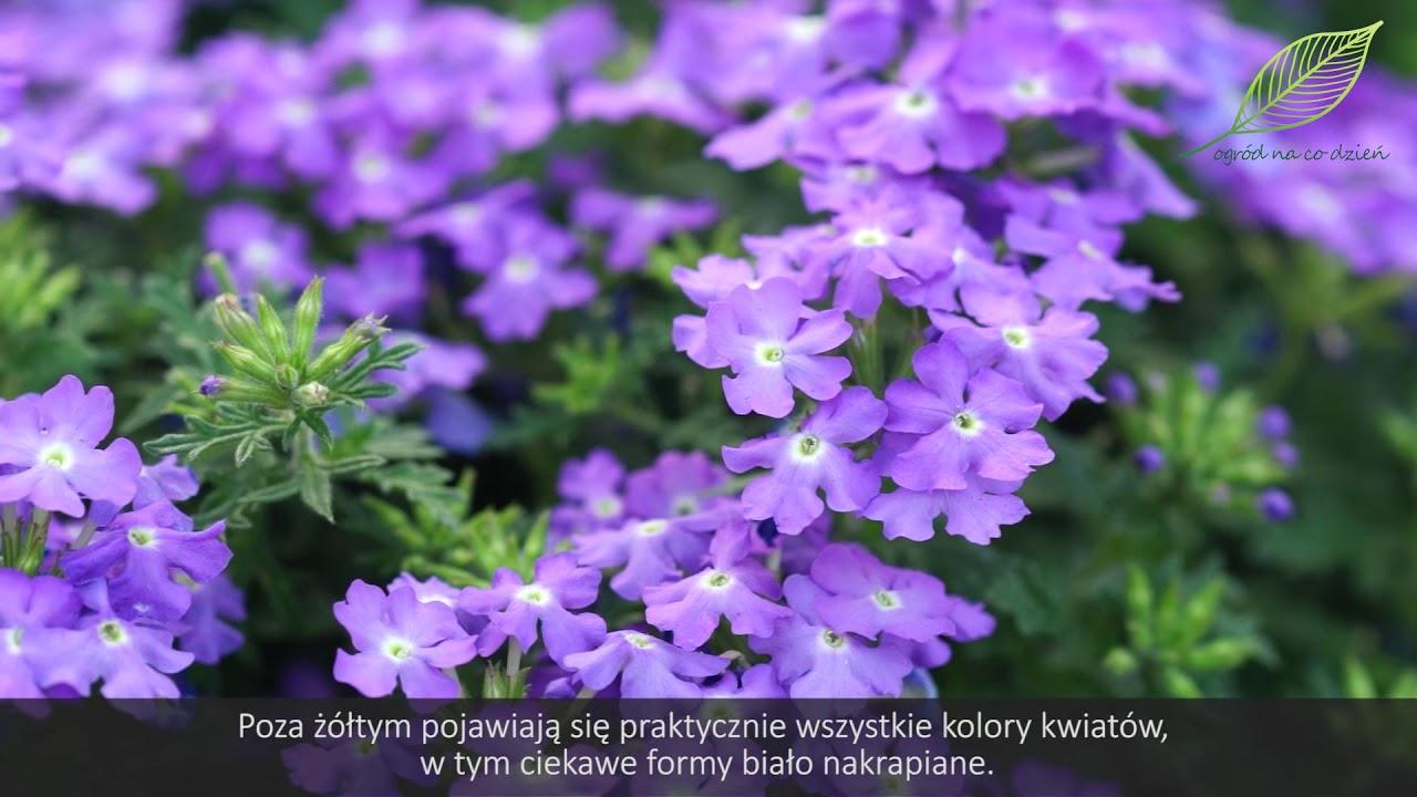 Lobelie I Werbeny Kwiaty Na Balkon I Taras Jak Sadzić Werbeny I Lobelie