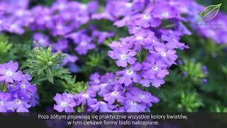 Lobelie I Werbeny Kwiaty Na Balkon I Taras Jak Sadzic Werbeny I Lobelie Youtube