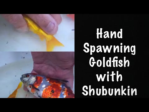 Hand Spawning Comet Goldfish With Shubunkin