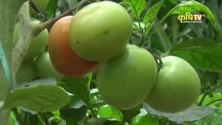 Tomato farming (गोलभेडा खेती)