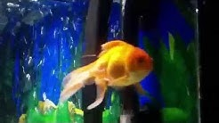 Poor sick fish with white fungus / disease tail and fins