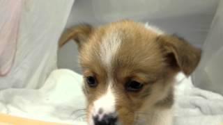 只今当店ではウエルッシュコーギーの子犬を販売中です ペットショップ鈴...