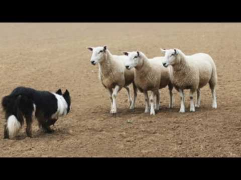 Border Collie Information