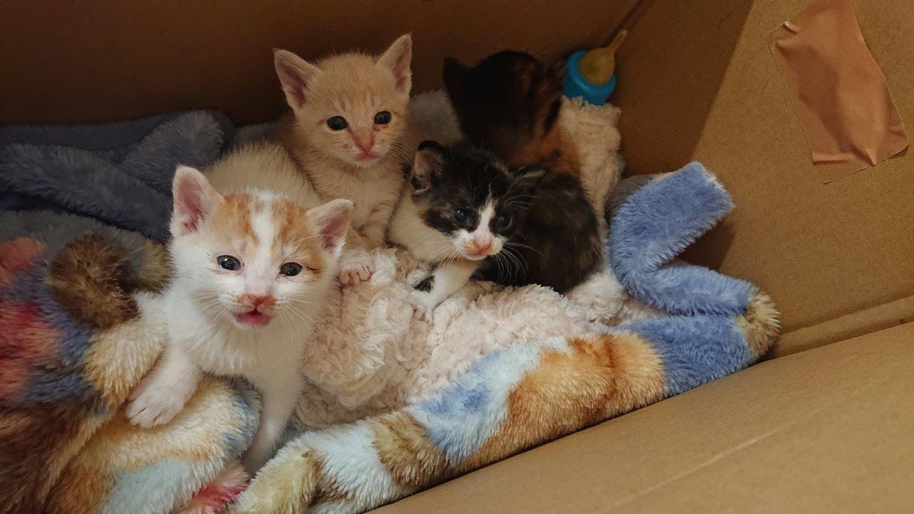 保護子猫 母猫が帰って来なくなった子猫達を保護しました。#60