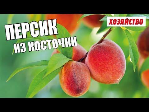 Вопрос: Как вырастить персик из семечка?
