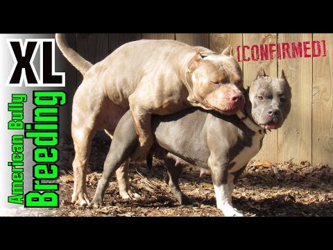 XL American Bully Breeding - How Clean Bullys Are Produced ((Edited Version)) Puppys Coming Soon