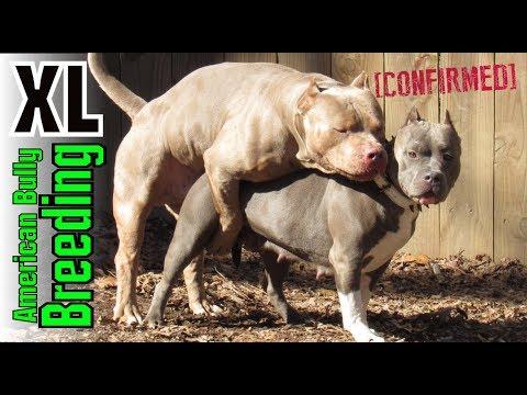 XL American Bully Breeding - How Clean Bullys Are Produced ((Edited