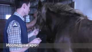 Болезни коней. Диагностика САПА. Прививка от Сибирки