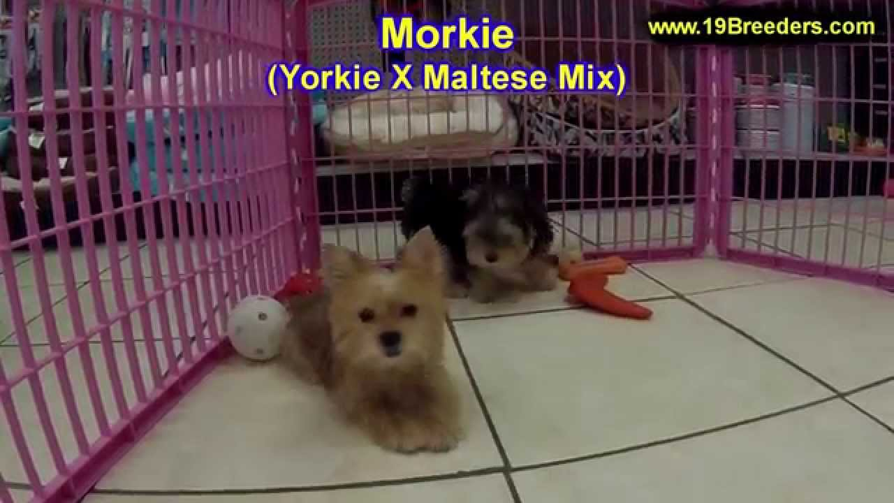 Morkie, Puppies, Dogs, For Sale, In Miami, Florida, FL, 19Breeders,  Tallahassee, Gainesville