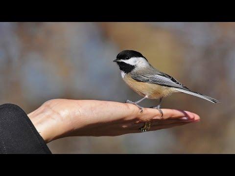 10 Beautiful Moment Of Black Capped Chickadee-2017(HD)