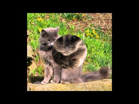 Нибелунг (Nebelung cat) породы кошек( Slide show)!