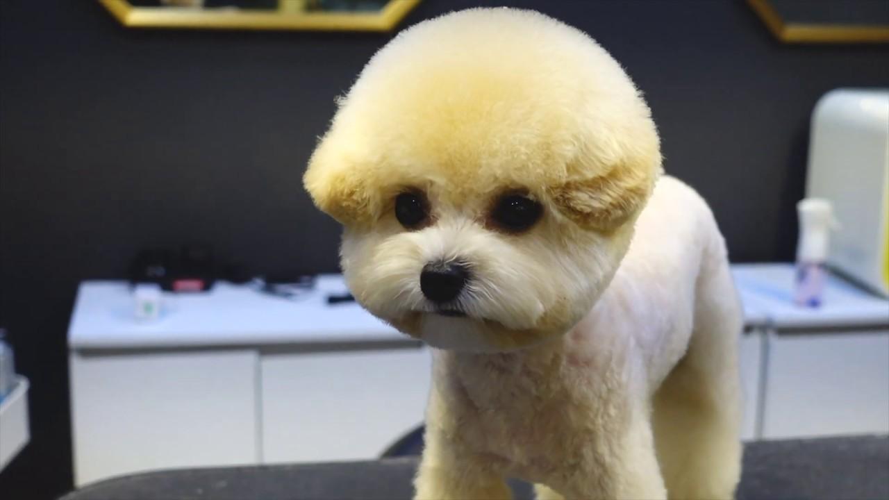 (슈앤트리) 푸들 하이바 스포팅 미용 / pet dog poodle grooming