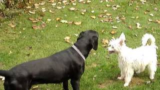 Chinese Crested Versus Dalmatian/retriever