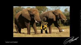 Intelligent Giants - Video 3 - The Nashville Zoo Elephants - Tasks, Talks and Beauty
