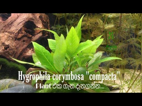 "Hygrophila corymbosa ""compacta"" Plant එක ගැන දැනගන්න..."