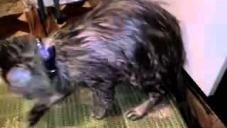 Как помыть кота(Как правильно и быстро помыть кота или другое домашнее животное? Подзываем кота, жёстко глядя ему в глаза..., 2016-01-05T13:21:16.000Z)