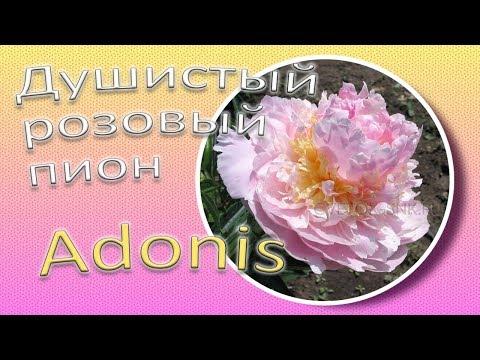 Вопрос: Какие есть махровые сорта адониса?