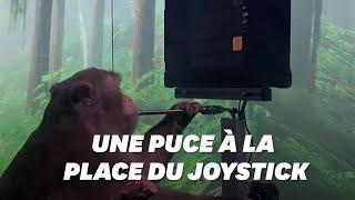 Après les cyber-cochons, Elon Musk présente un singe jouant aux jeux-vidéo grâce une puce