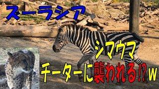 2017/11/09 横浜の 「ズーラシア」での、少し笑える映像です。 飼育員の...