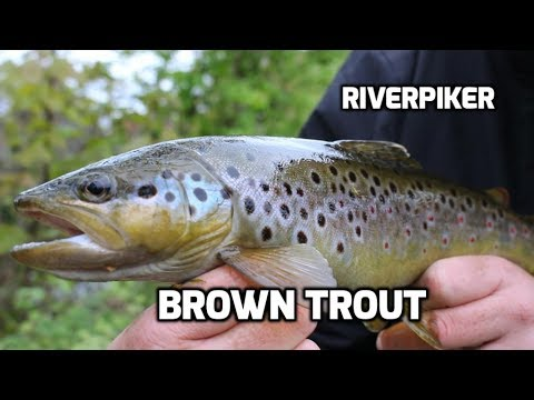 Lure fishing for brown trout (video 182)