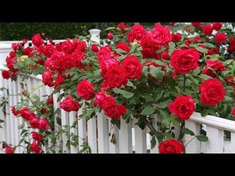 Как высадить вьющуюся розу