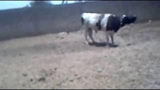 Embouche bovine :  Assane Ndiaye revient sur  les espèces bovines venues du brésil.