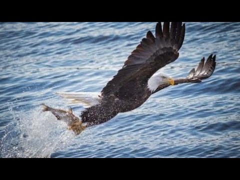 National Geographic Documentary - American Bald Eagle - Wildlife Animal