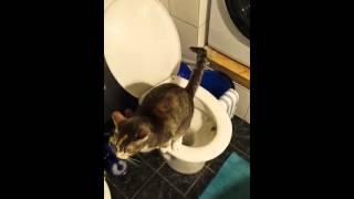 Кошка ходит  на унитаз в туалете.