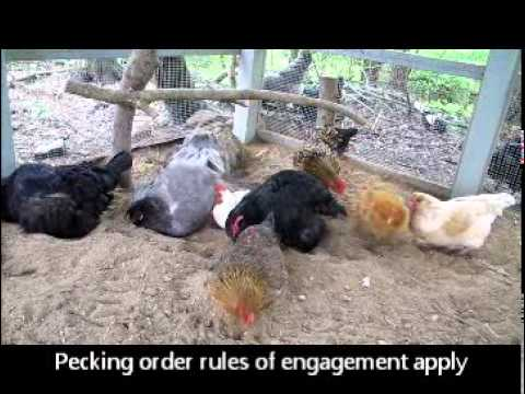 Say WHAT? A Video Guide to Understanding Chicken Chat | The