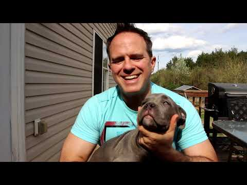 Early Spay or Neuter In Cane Corso Mastiffs and Large Breeds