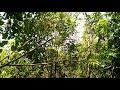 Pikat Burung Part 12dapat Burung Kipasan Atau Sikatan Jawa