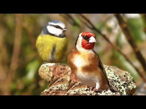 Videos and Sounds for Cats : Garden Birds Extravaganza