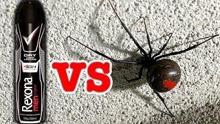 Big Scary Redback Spider Vs Rexona Deodorant (Viewer Request)