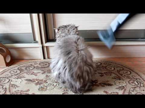 Кота сушат феном