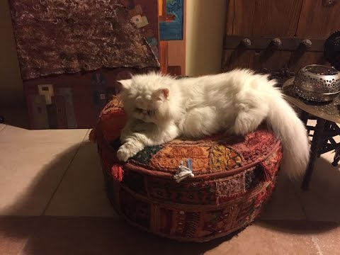 """Persian Cat Rescue Story! """"Cotton Candy"""" is ready for her new home"""
