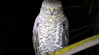 Australia's Largest Owl