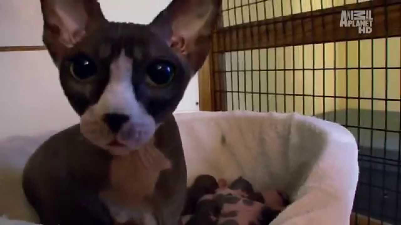Корниш-рекс: покупка котенка (породы кошек на зооклубе). Сколько стоит корниш-рекс (корнуольский рекс)?. Где купить котенка корниш-рекса?