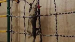 Кошка карабкается по канатному лазу - Cat climbs the wall bars