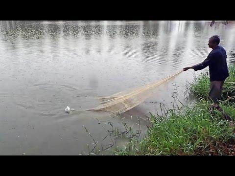 Net Fishing in village - Net Fishing in Rain - Catla Fishes catching in pond wiki