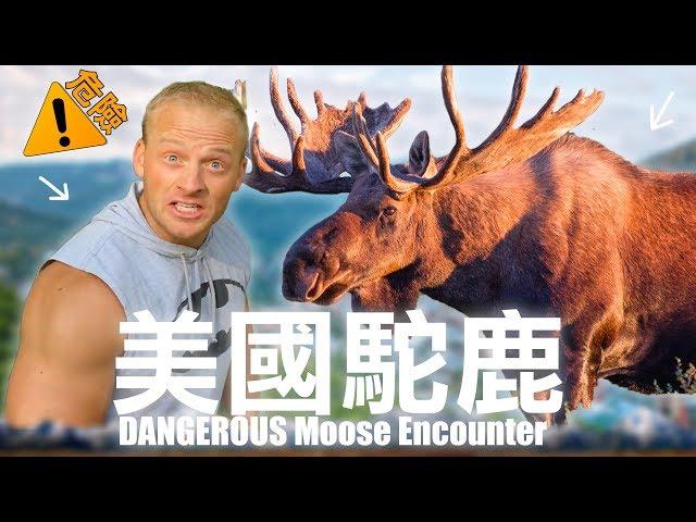 我遇到一超大隻駝鹿 - 非常危險 / 美國山上旅行 Park City Moose Encounter (4K) - Life in Taiwan #172