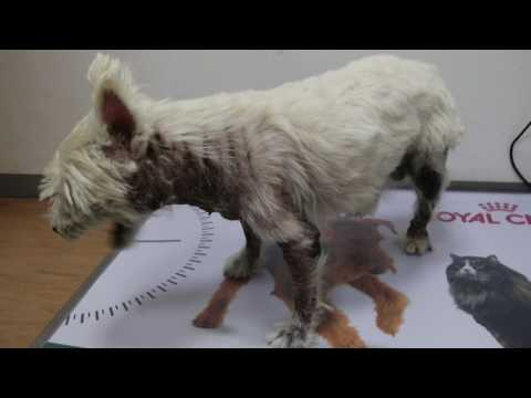 A 9-year-old male, not neutered Westie has severe skin itchiness. Pt 1