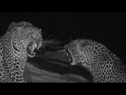 SafariLive Sept 13 - Young leopards Hosana and Thamba together!