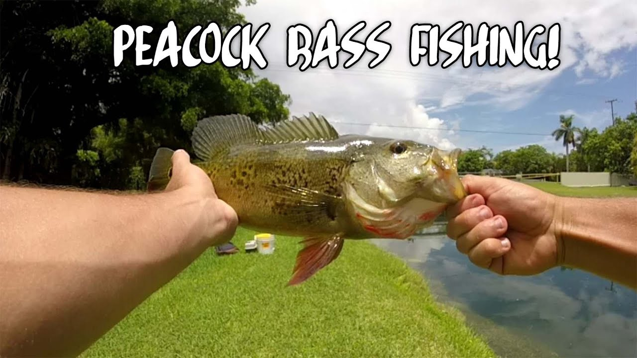 Miami canal fishing for peacock bass youtube for Peacock bass fishing miami