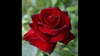 обрезка парковых роз,питомник роз Полины Козловой, интернет магазин саженцев роз rozarium.biz