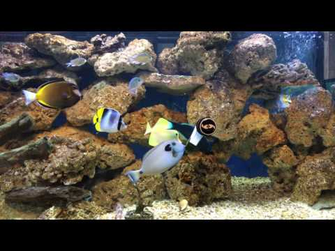 Fish Tank Diaries • Pearlscale Butterfly Sick? • 10-01-16 Saturday