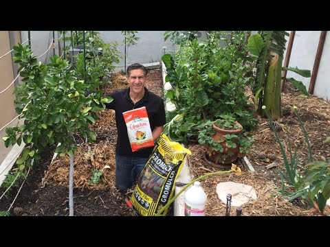 Fertilize Citrus Avocado Fruit Trees 3x Each Year Organically