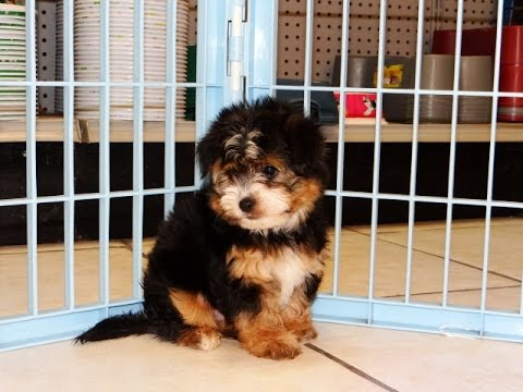 puppies for sale in columbia sc yorkie ton puppies dogs for sale in columbia south 8938