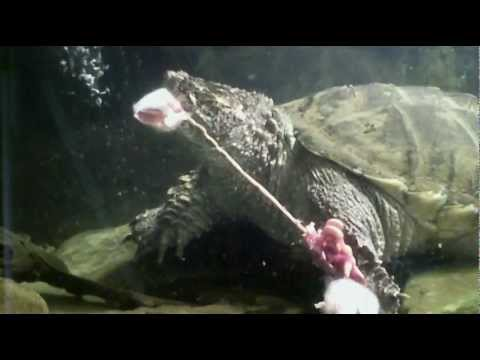 snapping turtle eats 3 adult mice youtube